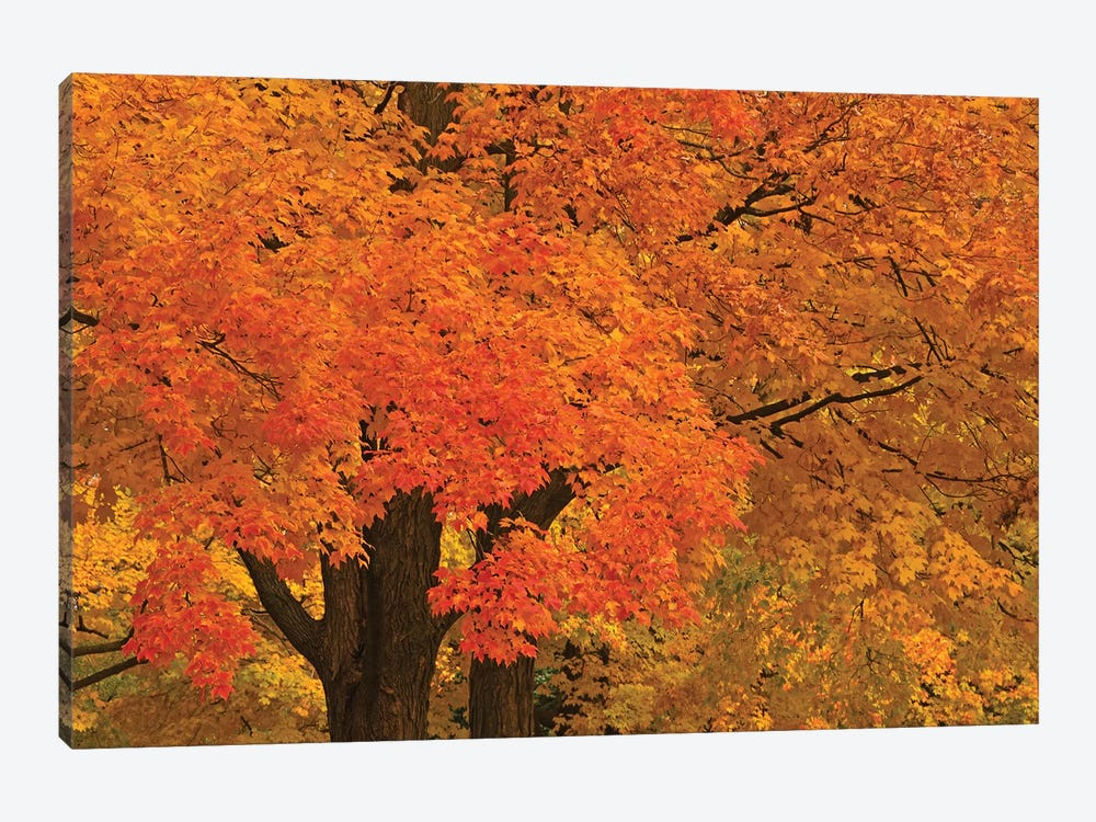 Autumn Maples by Brian Wolf 1-piece Art Print