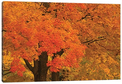 Autumn Maples Canvas Art Print