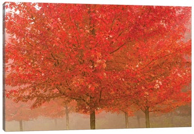 Foggy Morning Maples Canvas Art Print