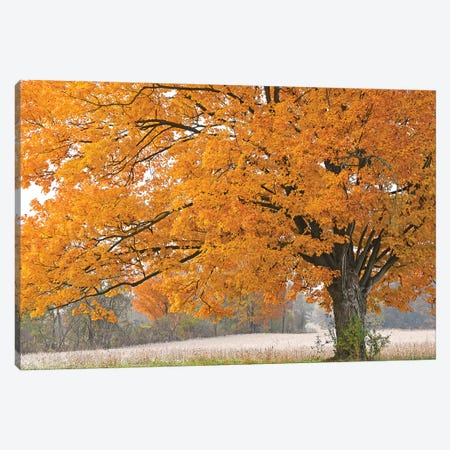 Morning Maple Canvas Print #BWF418} by Brian Wolf Art Print