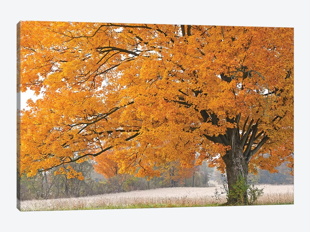 Morning Maple by Brian Wolf 1-piece Canvas Art Print