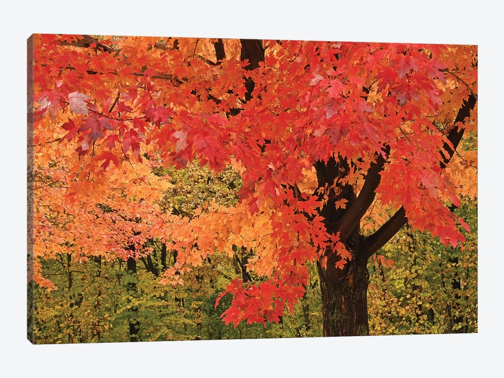 Red Maple by Brian Wolf 1-piece Canvas Art