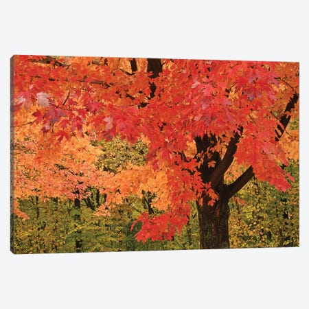 Red Maple 3-Piece Canvas #BWF419} by Brian Wolf Canvas Art Print