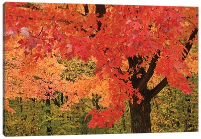 Red Maple Canvas Art Print