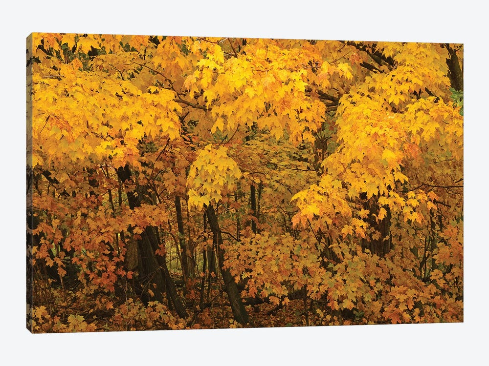 Yellow Maples by Brian Wolf 1-piece Canvas Art