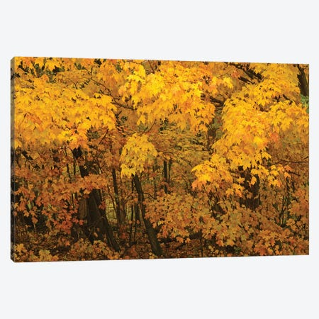Yellow Maples Canvas Print #BWF420} by Brian Wolf Canvas Wall Art