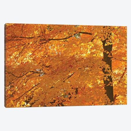 Sun Lit Maples Canvas Print #BWF421} by Brian Wolf Canvas Art