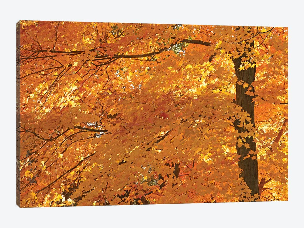 Sun Lit Maples by Brian Wolf 1-piece Art Print