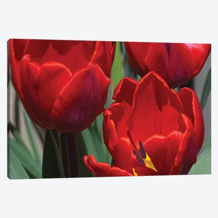 Red Tulips Canvas Print #BWF426} by Brian Wolf Art Print