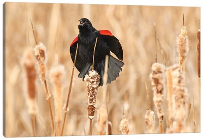 Red-Wing Blackbird Courtship Canvas Art Print