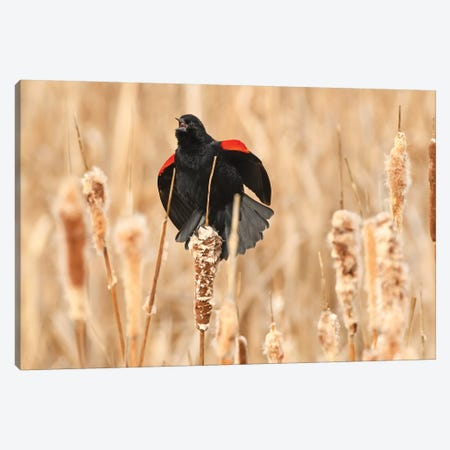 Red-Wing Blackbird Courtship Canvas Print #BWF429} by Brian Wolf Canvas Wall Art