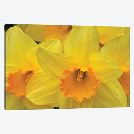 Daffodils Canvas Print #BWF433} by Brian Wolf Canvas Print