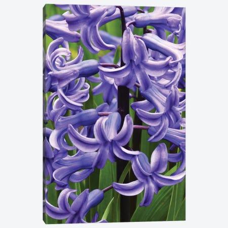 Hyacinths Canvas Print #BWF434} by Brian Wolf Canvas Art