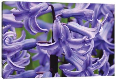 Hyacinths Up Close Canvas Art Print