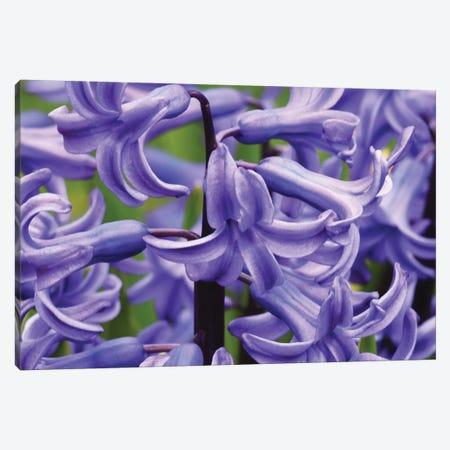 Hyacinths Up Close Canvas Print #BWF435} by Brian Wolf Canvas Artwork