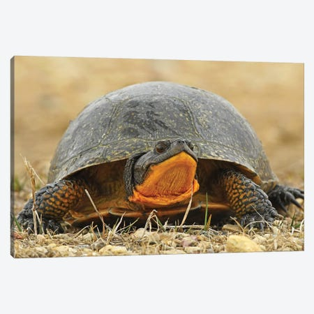 Endangered Blanding's Turtle Canvas Print #BWF436} by Brian Wolf Canvas Artwork