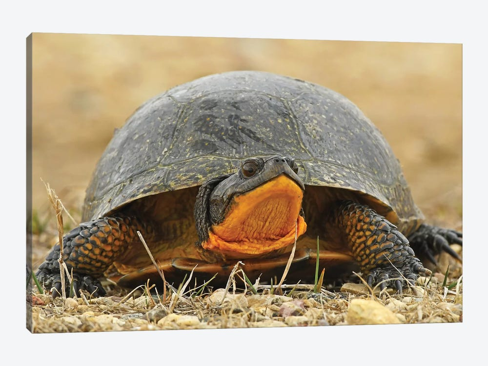 Endangered Blanding's Turtle by Brian Wolf 1-piece Canvas Print