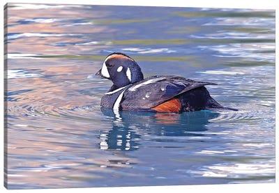 Harlequin Duck Canvas Art Print