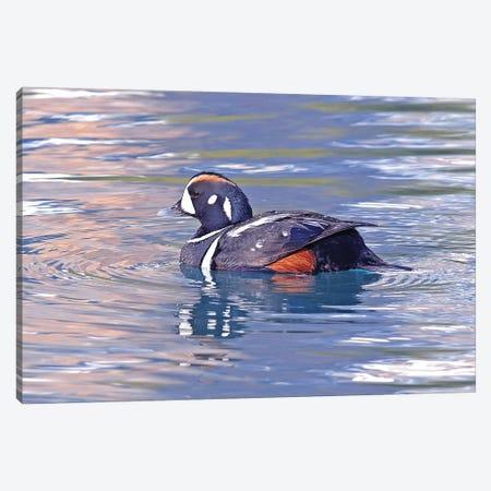Harlequin Duck Canvas Print #BWF439} by Brian Wolf Canvas Art Print