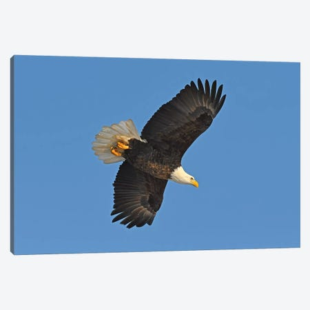 Bald Eagle In Flight Canvas Print #BWF43} by Brian Wolf Canvas Print