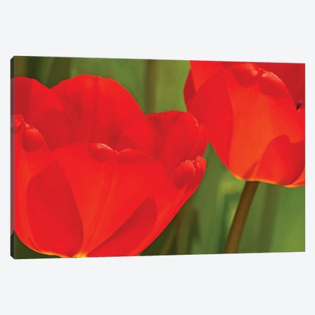 Backlit Red Tulips Canvas Print #BWF455} by Brian Wolf Canvas Artwork
