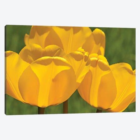 Backlit Yellow Tulip Trio Canvas Print #BWF457} by Brian Wolf Canvas Art
