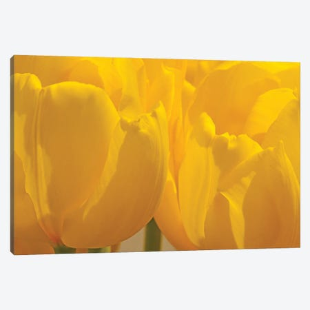 Yellow Backlit Tulips Canvas Print #BWF458} by Brian Wolf Canvas Print