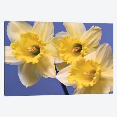 Spring Daffodils Canvas Print #BWF459} by Brian Wolf Canvas Art Print