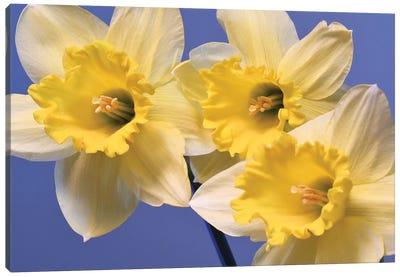 Spring Daffodils Canvas Art Print