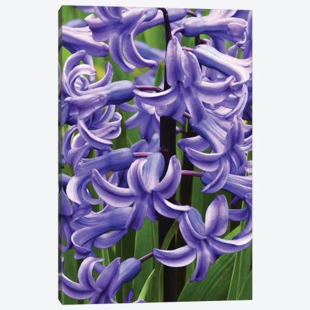 Hyacinths Close Up Canvas Print #BWF460} by Brian Wolf Canvas Wall Art