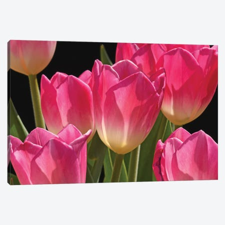 Pink Tulips Canvas Print #BWF461} by Brian Wolf Canvas Artwork