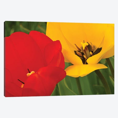 Red And Yellow Tulips Canvas Print #BWF463} by Brian Wolf Canvas Art