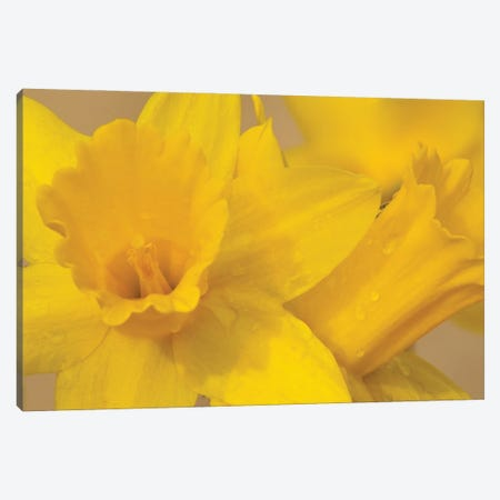 Yellow Daffodils Canvas Print #BWF467} by Brian Wolf Canvas Art Print