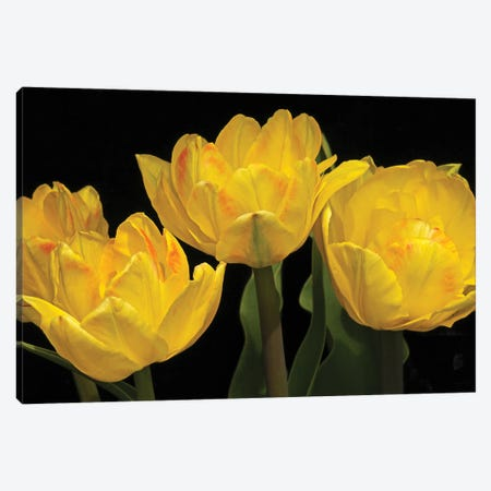 Yellow Tulip Arrangement Canvas Print #BWF473} by Brian Wolf Art Print