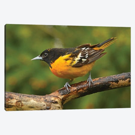 Male Baltimore Oriole Perched On Branch Canvas Print #BWF474} by Brian Wolf Canvas Art