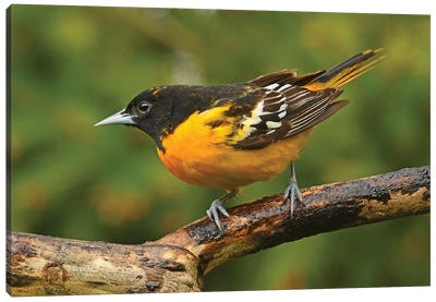 Male Baltimore Oriole Perched On Branch Canvas Art Print