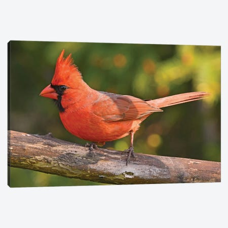 Northern Cardinal In Spring Colors Canvas Print #BWF476} by Brian Wolf Canvas Wall Art