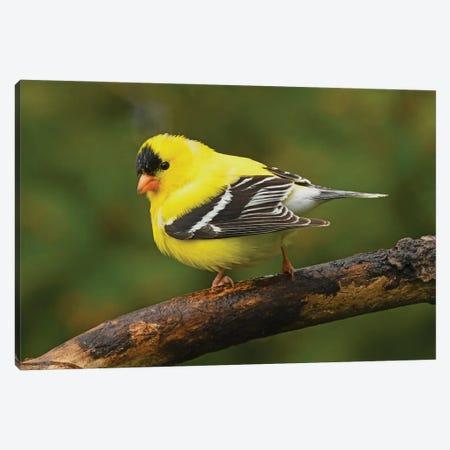 American Goldfinch In Spring Splendor Canvas Print #BWF477} by Brian Wolf Canvas Artwork