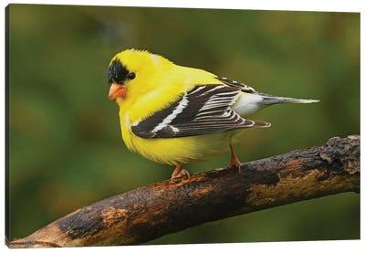 American Goldfinch In Spring Splendor Canvas Art Print