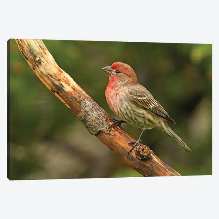 Male House Finch Perched On Branch Canvas Print #BWF478} by Brian Wolf Canvas Print