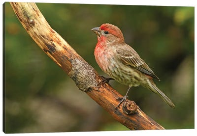 Male House Finch Perched On Branch Canvas Art Print