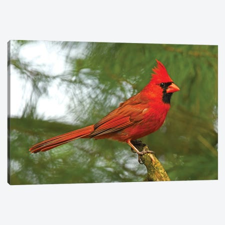 Cardinal Looking Proud Canvas Print #BWF483} by Brian Wolf Canvas Artwork