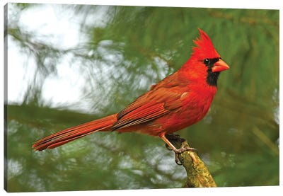 Cardinal Looking Proud Canvas Art Print