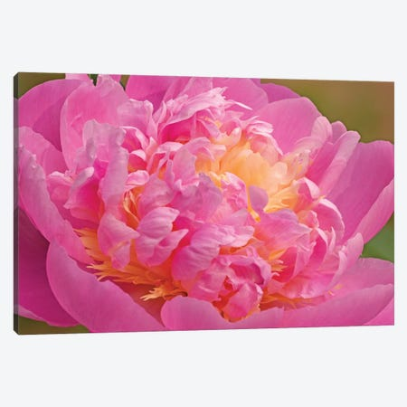 Peony Blossoming Canvas Print #BWF485} by Brian Wolf Art Print