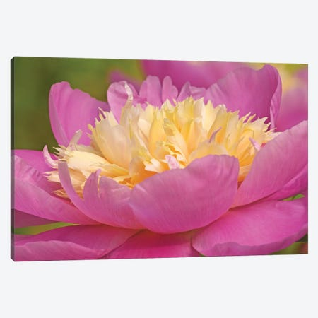 Pink And Yellow Peony Canvas Print #BWF486} by Brian Wolf Canvas Art Print