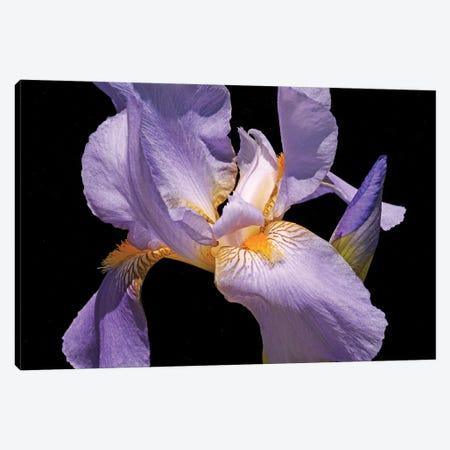 Violet Iris Canvas Print #BWF490} by Brian Wolf Canvas Print