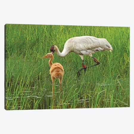 Endangered Whooping Crane With Colt Canvas Print #BWF492} by Brian Wolf Canvas Print