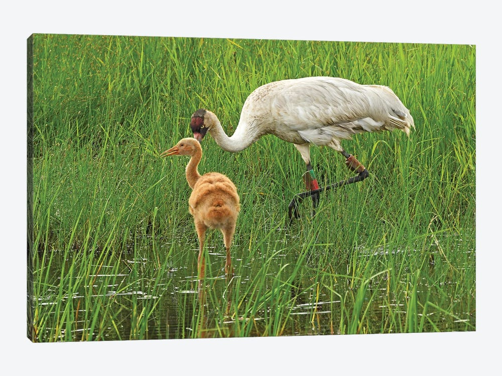 Endangered Whooping Crane With Colt by Brian Wolf 1-piece Canvas Print