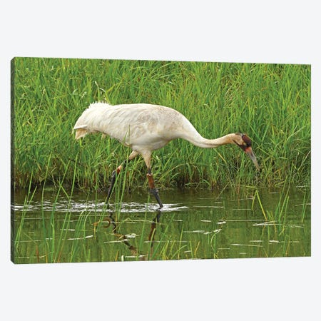 Endangered Whooping Crane Canvas Print #BWF494} by Brian Wolf Canvas Wall Art