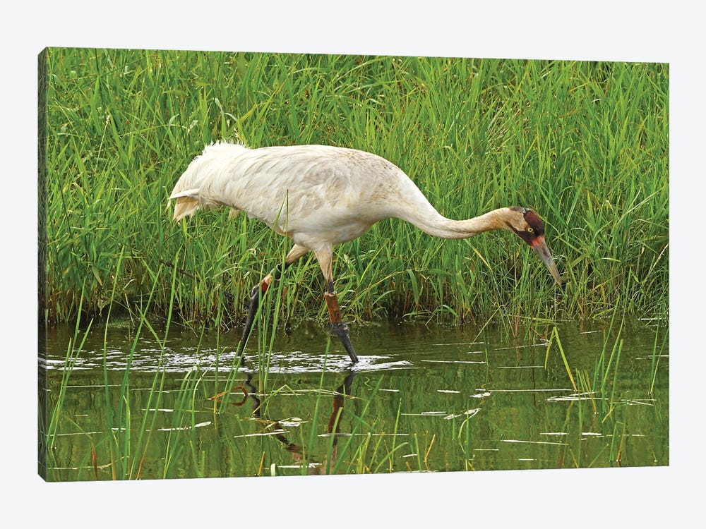 Endangered Whooping Crane by Brian Wolf 1-piece Canvas Art Print